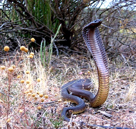 The Cape Cobra Kimberley City Info