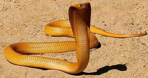 Cape Cobra - Snakes of Kimberley