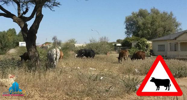 Cows in Green Street Kimberley
