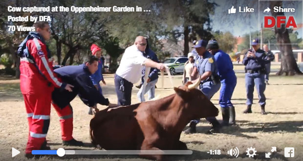 Cow on the loose in Kimberley
