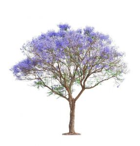 PT-Jacaranda_Tree-1920
