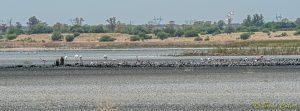 Flamingos at Kamfersdam Kimberley 20180110